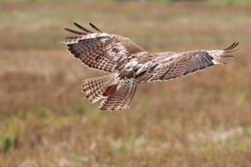 red-tailed hawk juvenile hawk