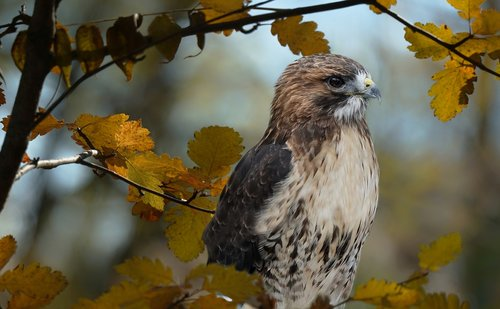red tailed hawk  hawk  nature