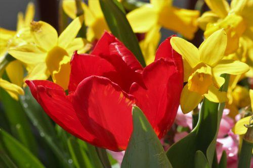 Free photos flowers are yellow red search download needpix natureplantsflowersredfloweryellowflowerstulip mightylinksfo