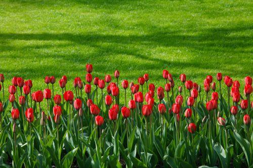 Red Tulip Row