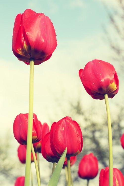 red tulips field flowers
