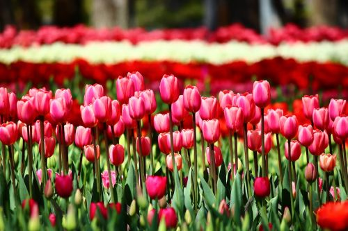 red tulips tulips arrayed tulips that can summon