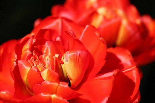 red tulips  roses tulips  frühlingsanfang