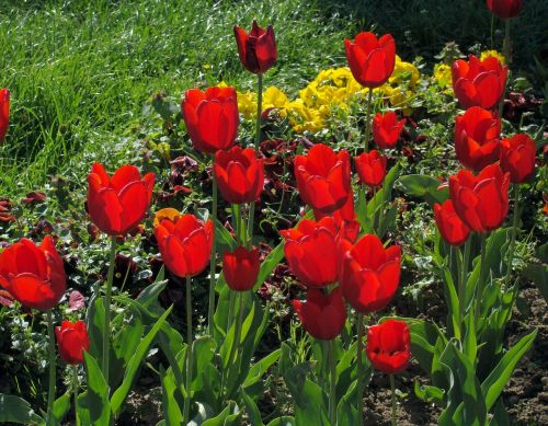 red tulips tulips flowers