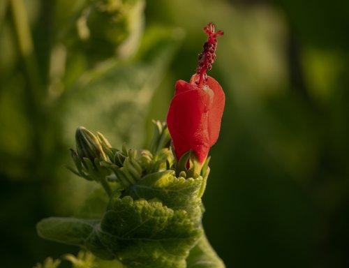 red turk's cap  turk's turban  malvaviscus