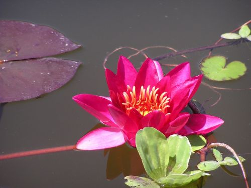 red water lily red waterlily lotus