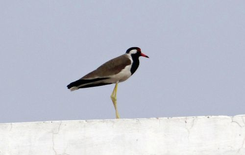 red-wattled lapwing vanellus indicus lapwing