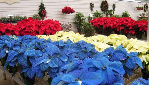 Red, White & Blue Poinsettias