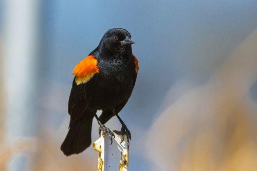 red winged blackbird bird blackbird