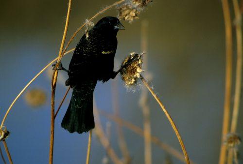 red winged blackbird bird wildlife