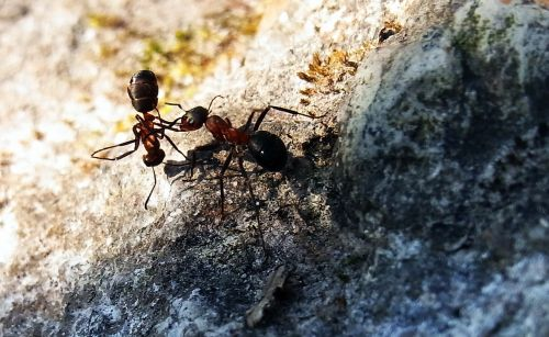 red wood ant formica rufa insect