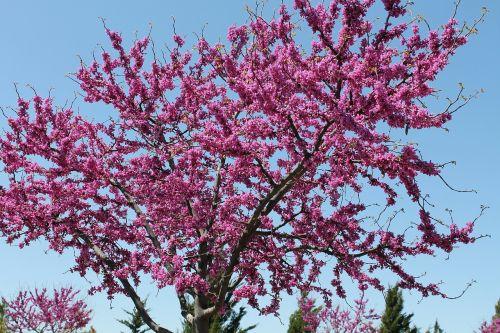redbud tree oklahoma