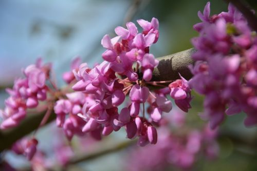 redbud tree nature