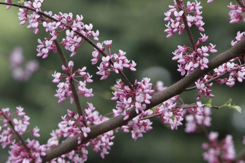 redbud tree redbud tree