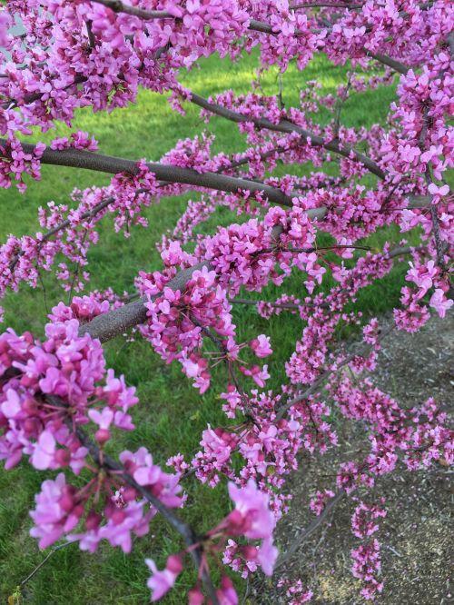 redbud eastern pink
