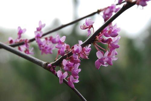redbud  spring  tree