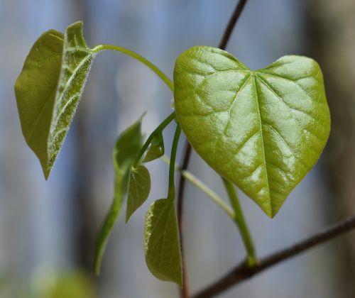 redbud leaves heart-shaped heart