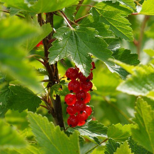 redcurrant ribes rubrum garden