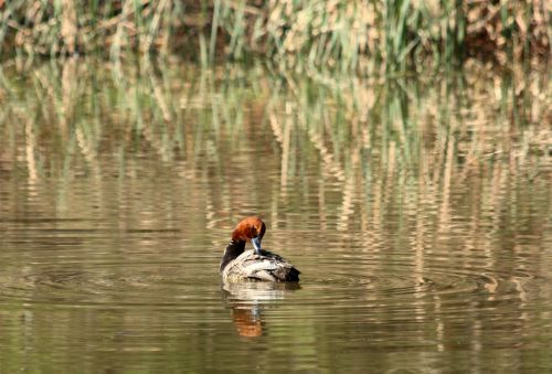 Redhead Duck Grooming On Pond