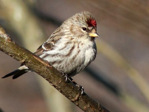 redpoll finch bird