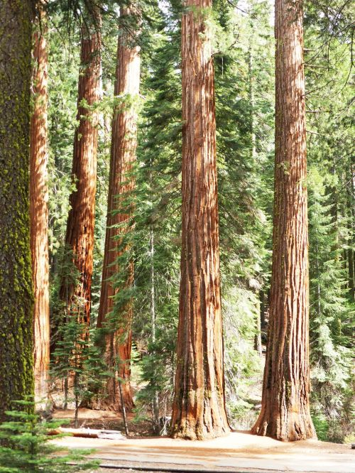 redwood trees national