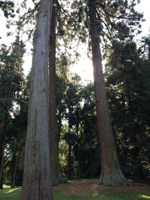 redwoods sequoia redwood trees