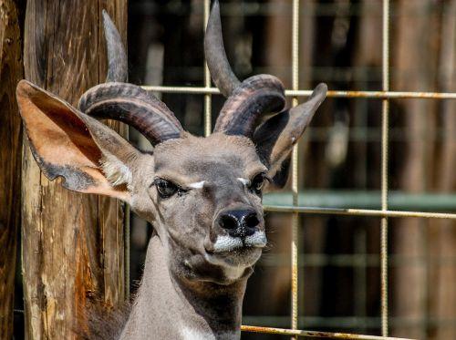 reebok zoo horns