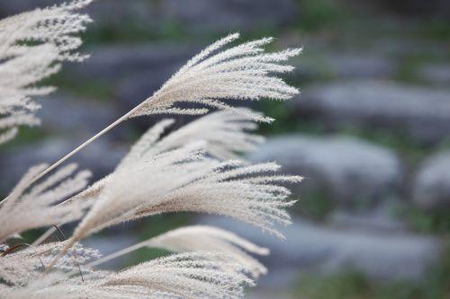 reed ヨシ 芦 苇