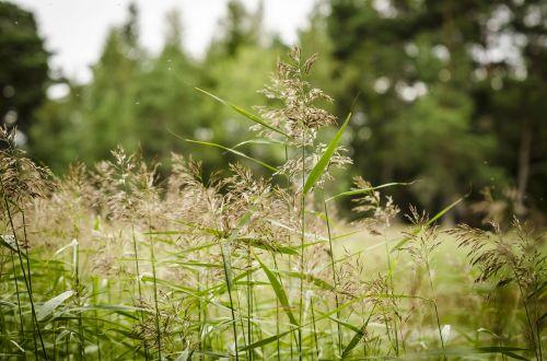 reed wetland grass