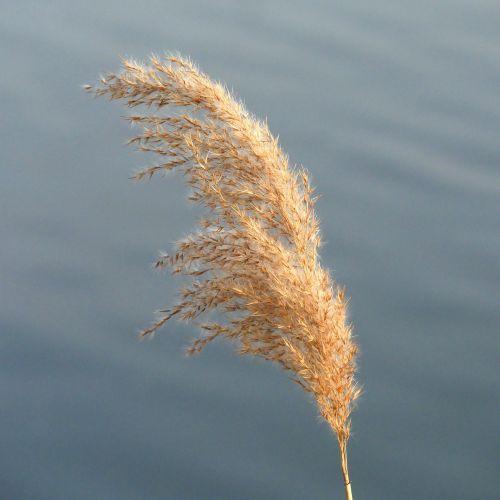 reed rush panicle