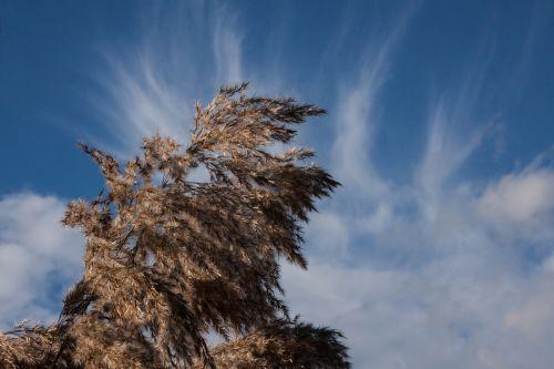 reed phragmites australis grass