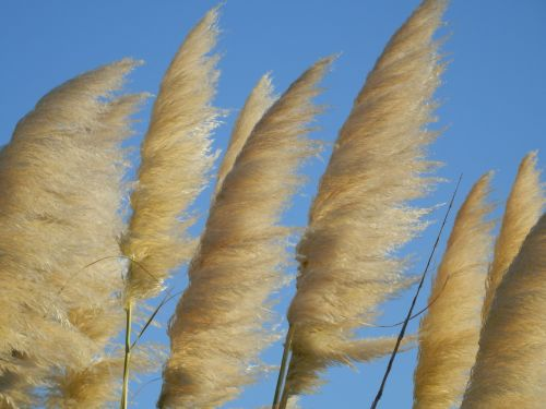 reed horsetail plant