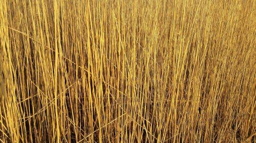 reed schilfrohrgewaechs phragmites australis