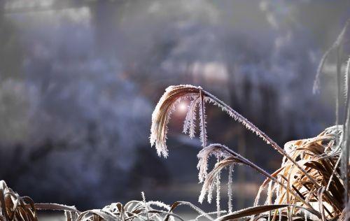 reed grasses back light