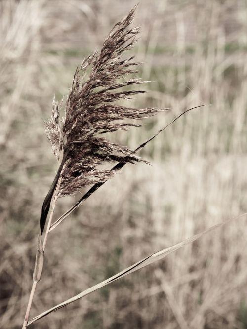 reed arid dried
