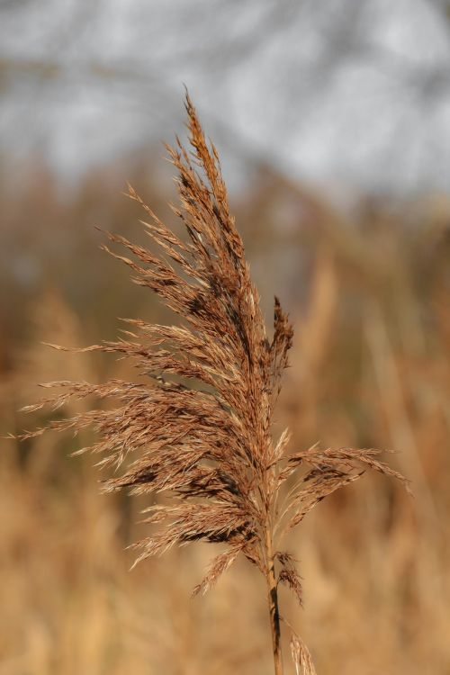 reed dehydrated grasses