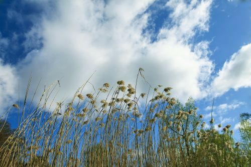 nendrė,dangus,teichplanze,pelkių augalas,debesys