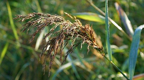 reed  morning  bending