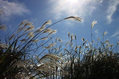 reed  autumn  nature