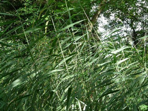 reed ordinary reed phragmites australis