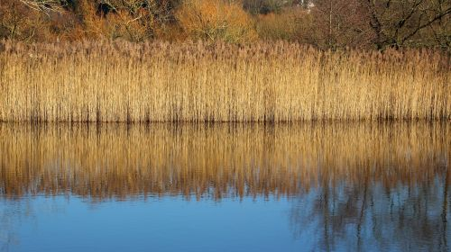 reed,light,grass,nature,landscape,golden,beautiful,lake,color,reflections,mirroring,background