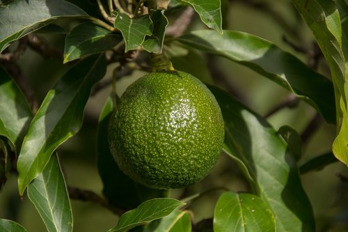 reed avocado  round  tree