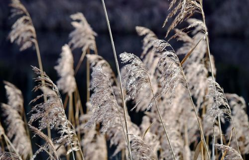 reed fronds dry winter