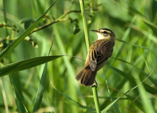 reed ostřicový acrocephalus paludicola bird