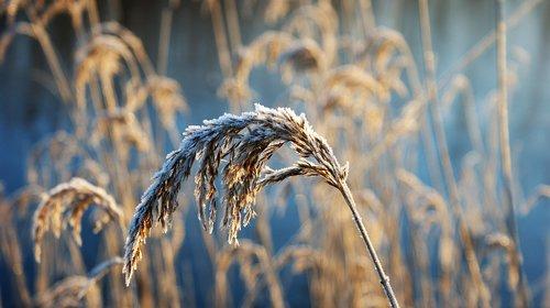 reed plume  frozen  winter