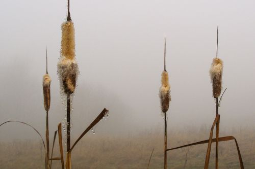 reeds the fog drops