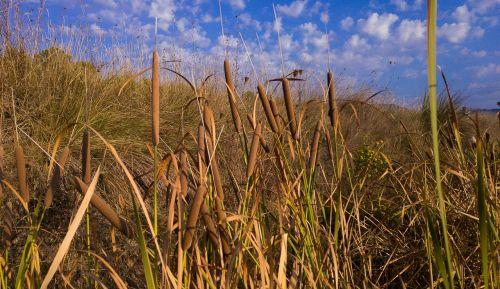reeds cigar water plants
