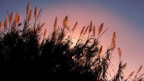 reeds sun sunlight