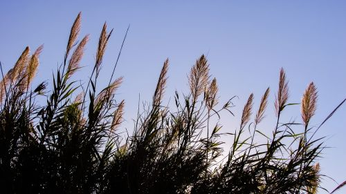 reeds sky light