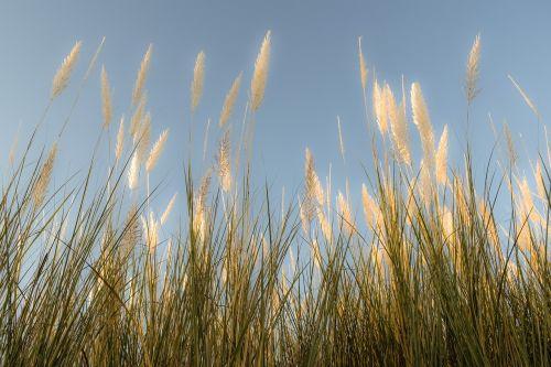 reeds sky nature